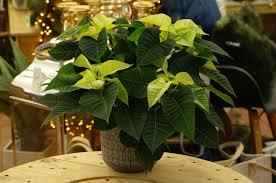 Weihnachtsstern Creme Weiß Euphorbia Pulch 12cm Topf 35 45cm