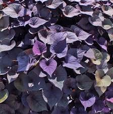 purple sweet potato plant. Fine Purple Ipomoea Batatas U0027Desana Bronzeu0027 Desana Bronze Sweet Potato Vine And Purple Plant Costa Farms