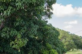 aussie tree care tree trimming service reviews removal prices prices cutting i24