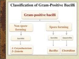 Gram Positive Bacilli Ppt Identification Of Gram Positive Bacilli Powerpoint