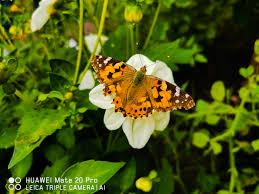 HUAWEI Community|<b>Beautiful butterfly</b> ?