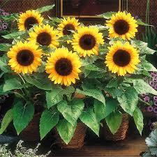 egrow 20pcs pack sunflower seeds home garden diy snack flower decoration plants bonsai at banggood