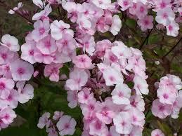 Perennial Pleasures Landscape Design Bright Eyes Phlox Garden Design Ideas