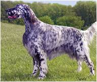 English Setter Weight Chart English Setter Dog Breed Facts And Traits Hills Pet