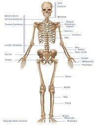Skeletal System Skeleton Bones Joints Cartilage