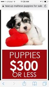 looking for teacup puppies