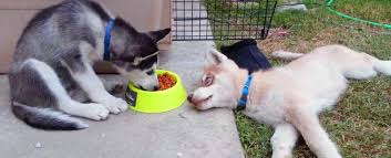food for siberian husky featured image