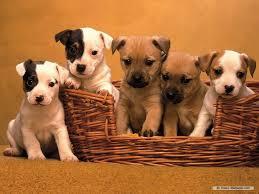 cute pitbull puppies wallpaper. Brilliant Cute Cute Pitbull Puppies Wallpapers Gallery Inside Wallpaper L