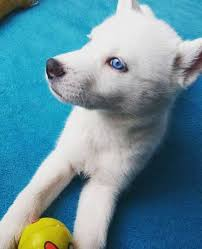 pure white husky with blue eyes. Exellent Husky White Husky With Blue Eyes With Pure I