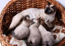 Siamese Kitten Growth Chart Fascinating Facts About Siamese Kitten Color Lovetoknow