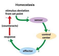 What Is Homeostasis In Biology 108 Homeostasis In Mammals Biology Notes For A Level
