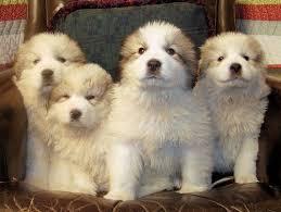 white bernese mountain dog.  Mountain 3 To White Bernese Mountain Dog E