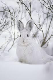snowshoe hare 1307784 framed prints