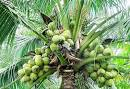 Images & Illustrations of coconut tree