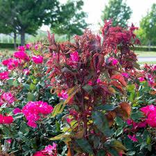 note from neil rose rosette disease