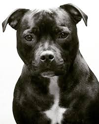 Staffordshire Bull Terrier Female Pitbull Pits And Dogs Dogs