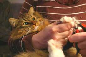 hold your cats paw and gently squeeze until the nails are extended and look for the quick in the nails
