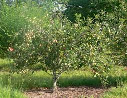 Are These The Best MassProducing Trees For Whitetail Deer  Deer Best Fruit Trees For Deer