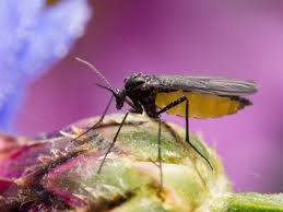 Fungus Gnats Attracted To Light How To Prevent And Stop Fungus Gnats In Your Marijuana Grow Room