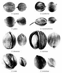 Nut Identification Chart Nuts Wild Arkansas