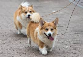are corgis good with kids the royal family dogs are por for a reason
