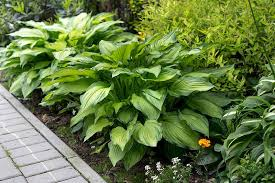 the 19 best hosta varieties for a shady