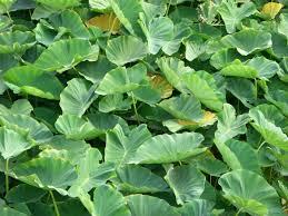 Colocasia - Wikipedia