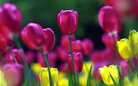 spring tulip desktop wallpaper. Wonderful Desktop Intended Spring Tulip Desktop Wallpaper P