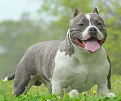Average Pitbull Weight Chart American Bully All You Need To Know About Bully Pitbulls