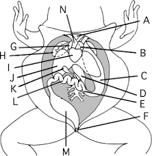 FROG dissection lettered free study unit on crayfish dissection worksheet