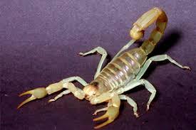 how do you kill a scorpion. Wonderful Scorpion Striped Bark Scorpion Inside How Do You Kill A Scorpion E