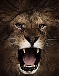lioness roar front view. Plain Lioness Image Result For Lion Roaring Front View On Lioness Roar Front View