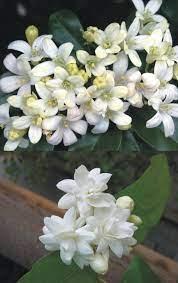 Jasmine Mogra and Murraya Paniculata ...