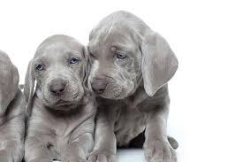 Weimaraner Dog Breed Information