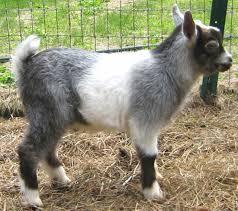 Best Miniature Dairy Goats Modern Farming Methods