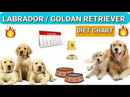 Labrador Diet Chart Golden Retriever Diet Plan In Hindi