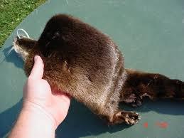 beaver fur coat 17 50
