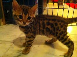 bengal kittens bengal kittens