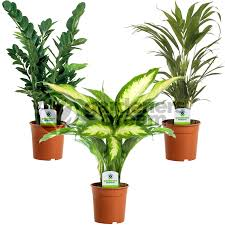 office indoor plants. Indoor Plant Mix - 3 Plants House / Office Live Potted Pot Tree (