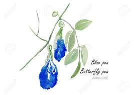 erfly pea or blue pea hand drawn watercolor painting on white background vector ilration