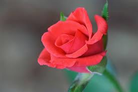 tips on taking care of floribunda roses