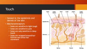 Light Touch Is Sensed By The The Nervous System And Endocrine System Compare And