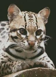 Details About Cross Stitch Chart Pattern Ocelot Big Cat Wild