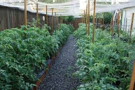 indoor tomato garden. Here Is A Look At Our Tomatoes In EarthBoxes This Spring, Well, Almost Summer Indoor Tomato Garden I