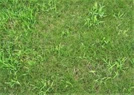 Crabgrass Killer Identify Crabgrass Lawn Care Services