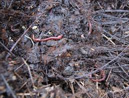 several common garden worms chew their way through some tasty compost getting it ready for the