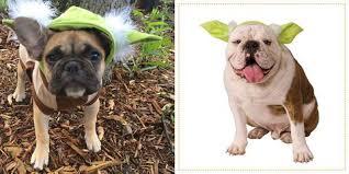 @otis_our_frenchie. Star Wars Yoda Ears Dog Halloween Costume