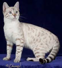 snow bengal cat. Perfect Snow Snow Bengal Cat Looks Just Like My Kitty Isis Inside Snow Bengal Cat L