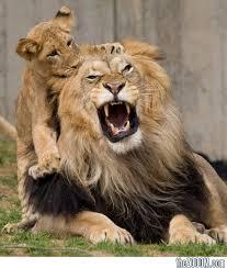 lion kids के लिए चित्र परिणाम