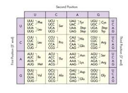 Use The Codon Chart Below To Determine Which Amino Acid